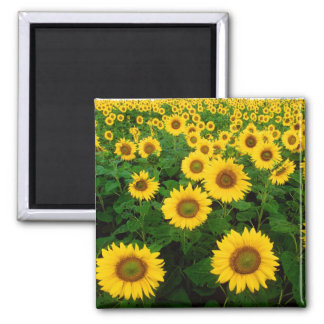 Field of Sunflowers Square Magnet