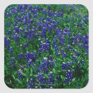 Field of Texas Bluebonnets Square Sticker