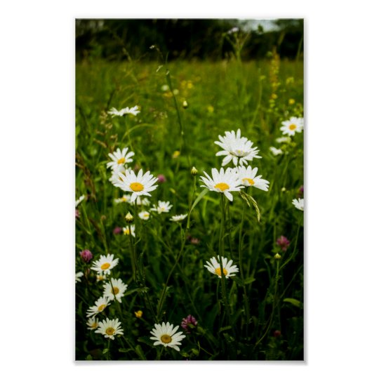 Fields of daisies and wildflowers poster