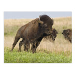Fiesty young bison bull at the Tallgrass Postcards