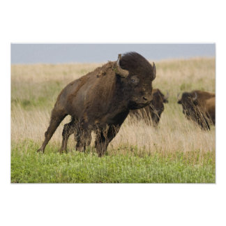 Fiesty young bison bull at the Tallgrass Print