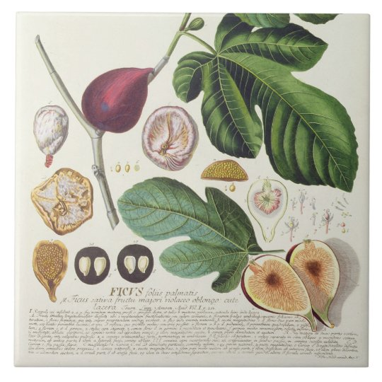 Fig, engraved by Johann Jakob Haid (1704-67) plate Large Square Tile