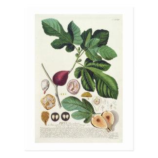 Fig, engraved by Johann Jakob Haid (1704-67) plate Postcard