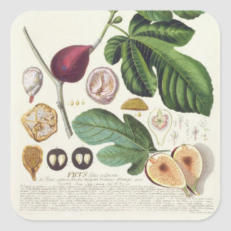 Fig, engraved by Johann Jakob Haid (1704-67) plate Square Stickers