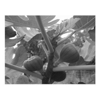 Fig tree postcard
