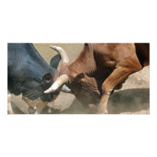 Fighting Bulls Picture Card