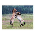 Fighting Wild Horses Postcard