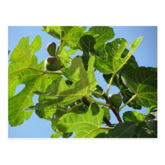 Figs on tree branches postcard
