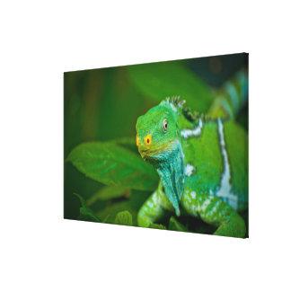 Fiji crested Iguana, Kula Eco Park, Viti Levu, Canvas Print