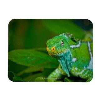 Fiji crested Iguana, Kula Eco Park, Viti Levu, Magnet