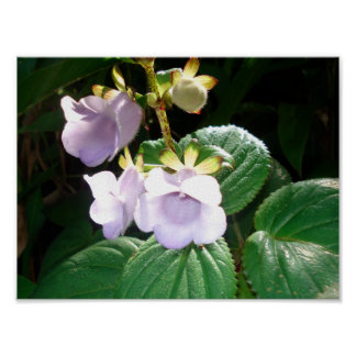 Fiji Purple Orchid Poster