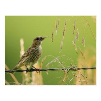 Finch eating seeds of a wild grass postcard