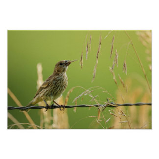 Finch eating seeds of a wild grass poster