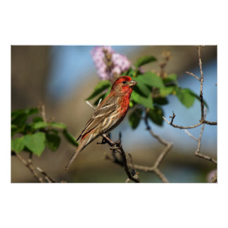Finch in Lilac Bush Poster
