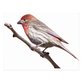 Finch on a branch postcard