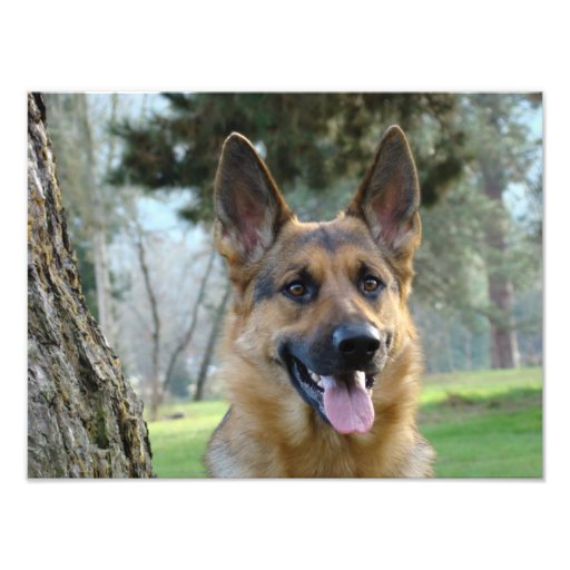 Fine Art photography German Shepherd Pure Bred Dog Photographic Print
