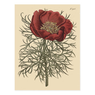 Fine Leaved Peony Botanical Illustration Postcard