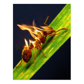 Fire Ant Post Cards