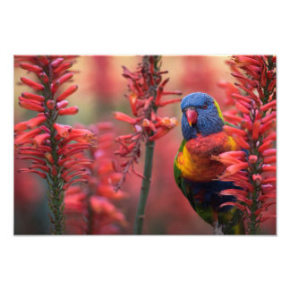 """Fire Lorikeet"" Parrot in Red Aloe 13x19"" Print"