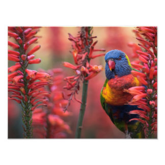"""Fire Lorikeet"" Parrot in Red Aloe 18x24"" Print"