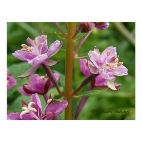 Fireweed Variegated Blossoms, Unalaska Island Postcard