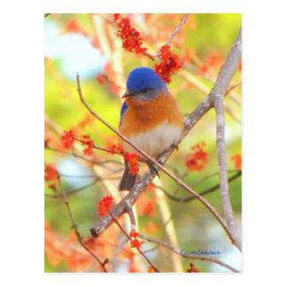 First Bluebird of Spring Postcard