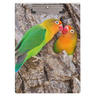 Fischer's Lovebirds kissing, Africa Clipboard
