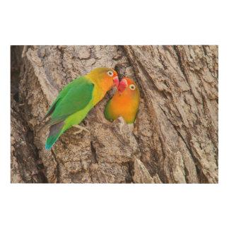 Fischer's Lovebirds kissing, Africa Wood Wall Art