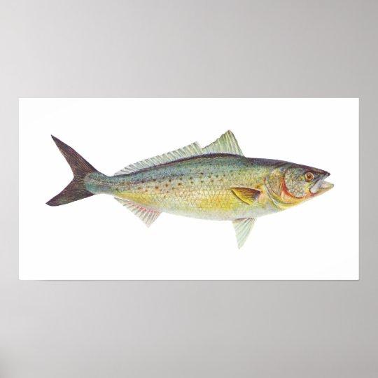 Fish - Australian Salmon - Arripis trutta Poster