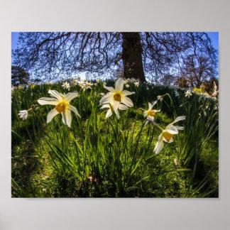 Fish Eye Daffodil Landscape Poster