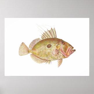 Fish - John Dory - Zeus faber Poster