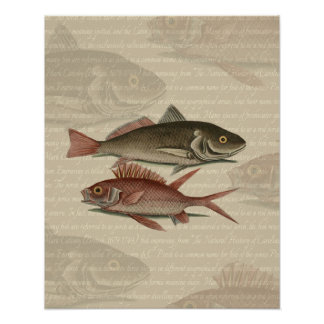 fish red perch Vintage fisherman gift Poster
