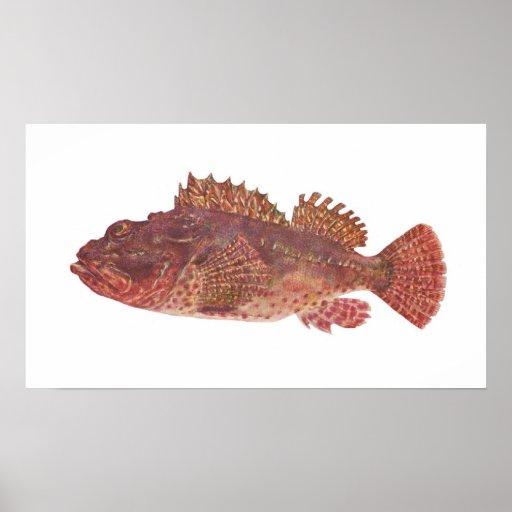 Fish red rock cod scorpaena cardinalis posters zazzle for Rock cod fish