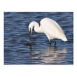 Fishing Egret Postcard