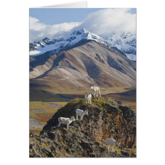 Five Dall sheep rams perch on a cliff Card