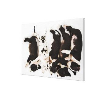 Five Harlequin Great Dane puppies sleeping in Canvas Print