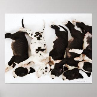 Five Harlequin Great Dane puppies sleeping in Poster