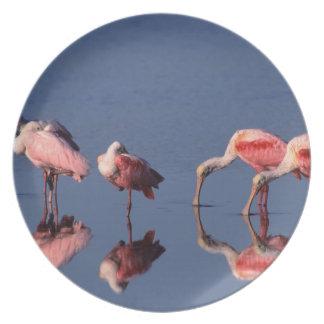 Five Roseate Spoonbills (Ajaia ajaja) feeding Plate
