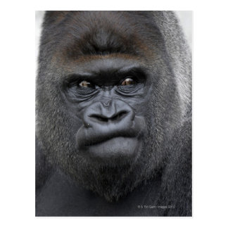 Flachlandgorilla, Gorilla gorilla, Post Cards