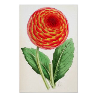 """Flambeau Dahlia"" Vintage Illustration Poster"