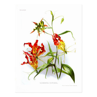 Flame lily (Gloriosa superba) Postcard