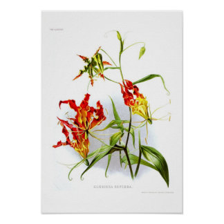 Flame lily (Gloriosa superba) Poster