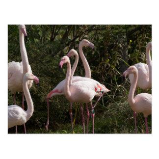 Flamingo Flock Postcard