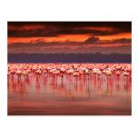 Flamingos at Sunset Postcard