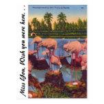 Flamingos in Florida Postcard