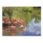 Flamingos. Postcard