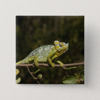 Flap-neck Chameleon 15 Cm Square Badge