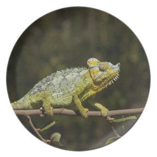 Flap-neck Chameleon Plate