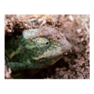 Flap-Necked Chameleon 2 Postcard