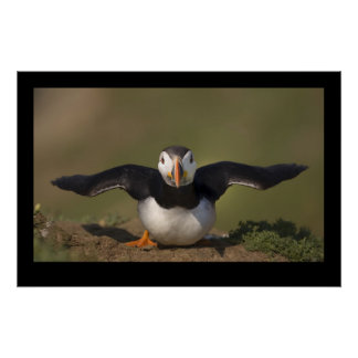 Flapping Puffin Poster